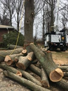 Tree for Removal